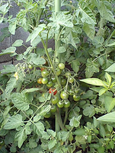 プチ・トマト